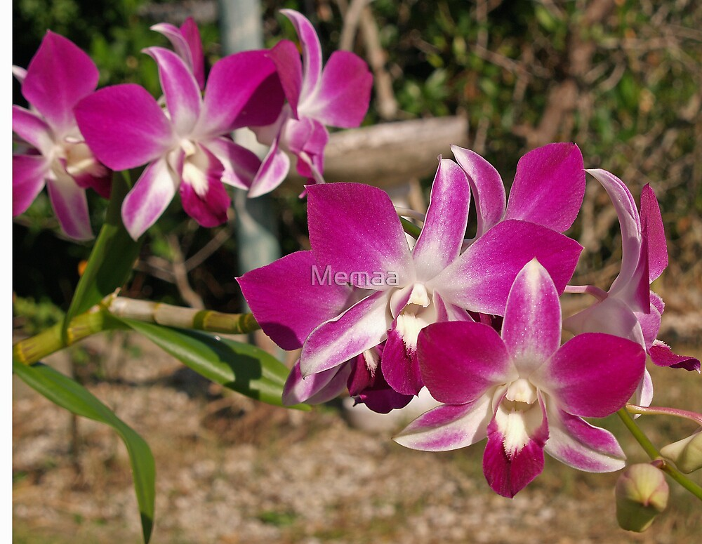 Purple Orchids by Memaa