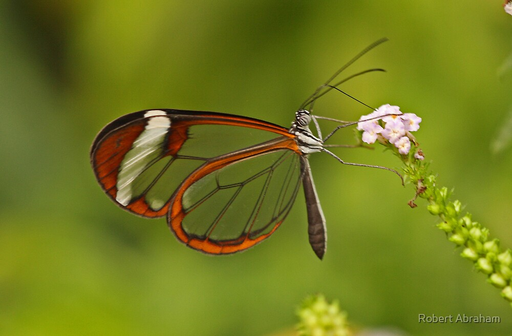 Glaswing Butterfly by Robert Abraham
