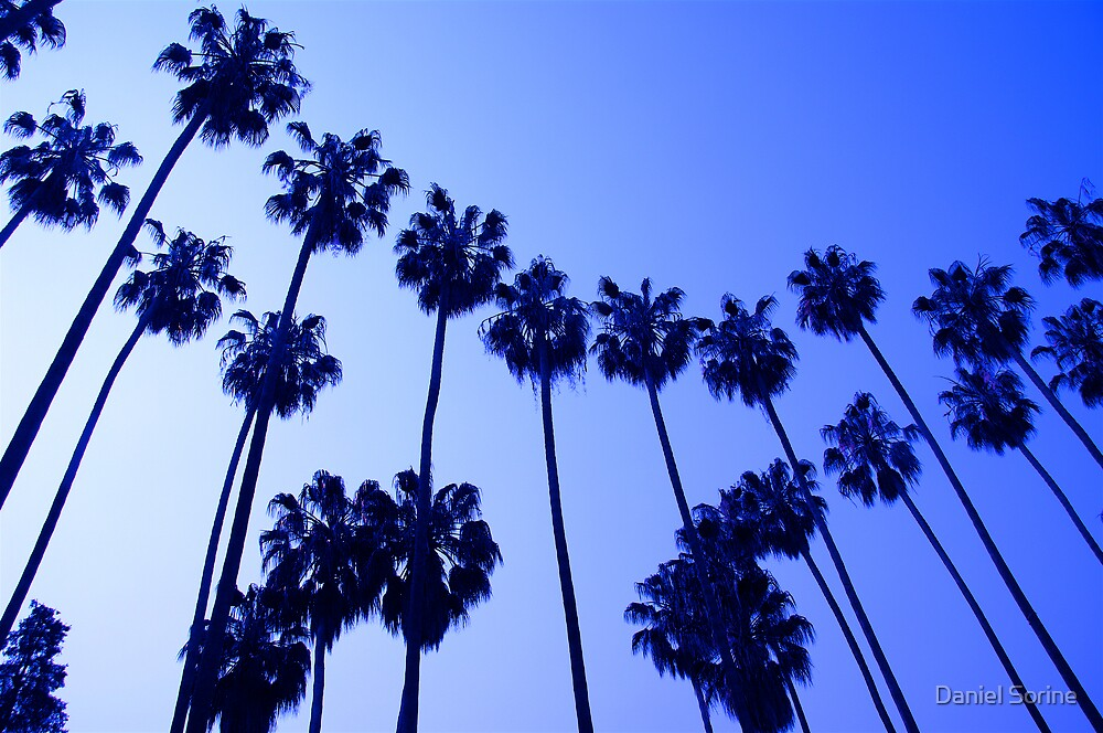 Palm trees in California. by Daniel Sorine