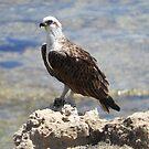 Eastern Osprey (Pandion cristatus) - Rottnest Island, Western Australia by Dan Monceaux