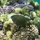 Western Scalyfin (Palma occidentalis) - Rottnest Island, Western Australia by Dan Monceaux