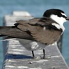 Bridled Tern (Onychoprion anaethetus) - Penguin Island, Western Australia by Dan Monceaux