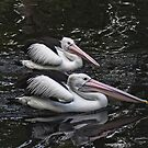 Pelicans in the Pond, Perth W.A. by Sandra Chung