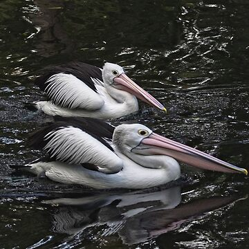 Pelicans in the Pond, Perth W.A. by Sandra
