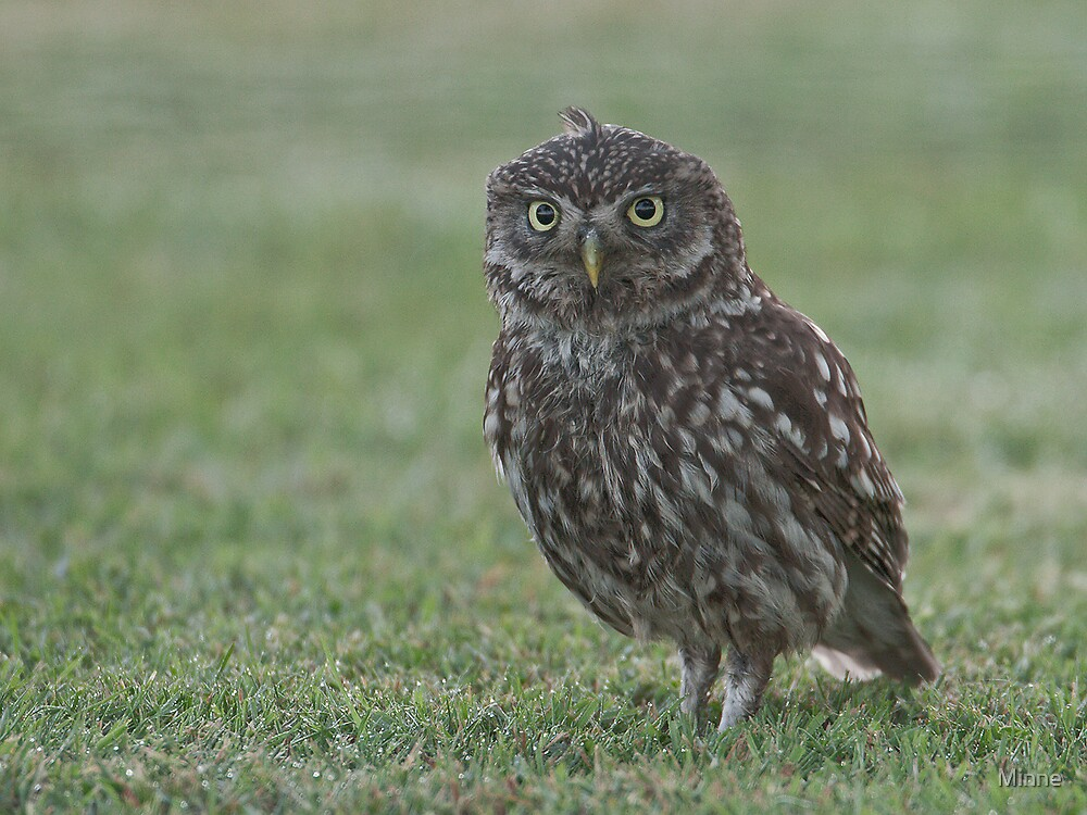 Little owl - Steenuil by Minne