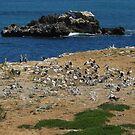 Pelican rookery on Penguin Island, Western Australia by Dan Monceaux