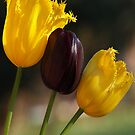 Yellow & Black Tulips by Bev Pascoe
