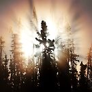 Spruce by Marty Samis