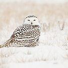 Snowy Owl by Marty Samis
