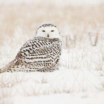 Snowy Owl by Martsam