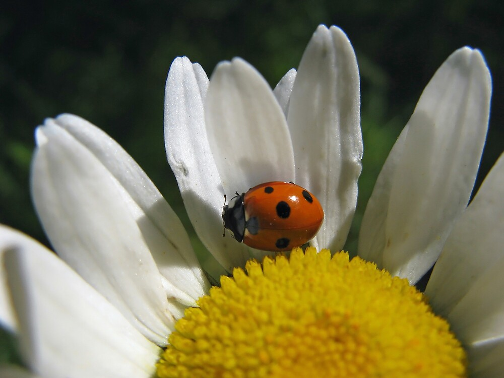 Daisy Bug by Corey Bigler