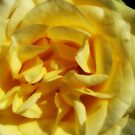 Yellow Rose by Shaina Haynes