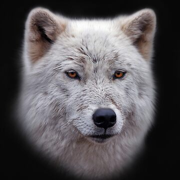 Arctic Wolf by johnny55