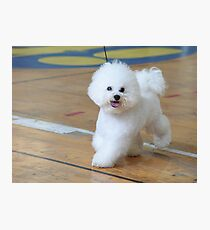 Bichon Frise (curly lap dog) is a small breed of dog of the Bichon type. Photographic Print