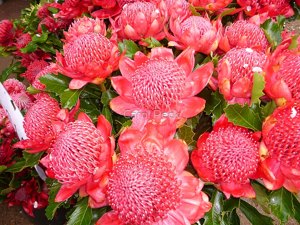 Australian Red Waratah by tazgirl50