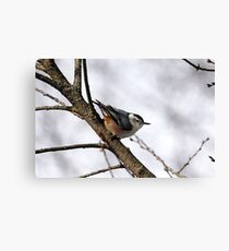 Perched Nuthatch Canvas Print