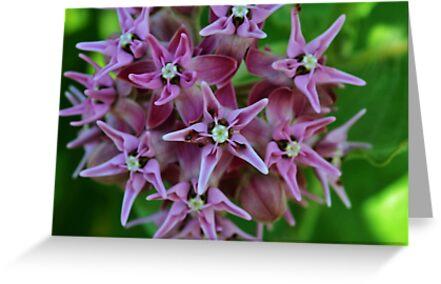 Showy Milkweed by PlaidPancakes
