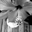 Hibiscus by Maureen Kay