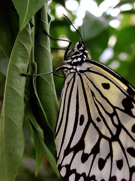 Butterfly by Allison Blake
