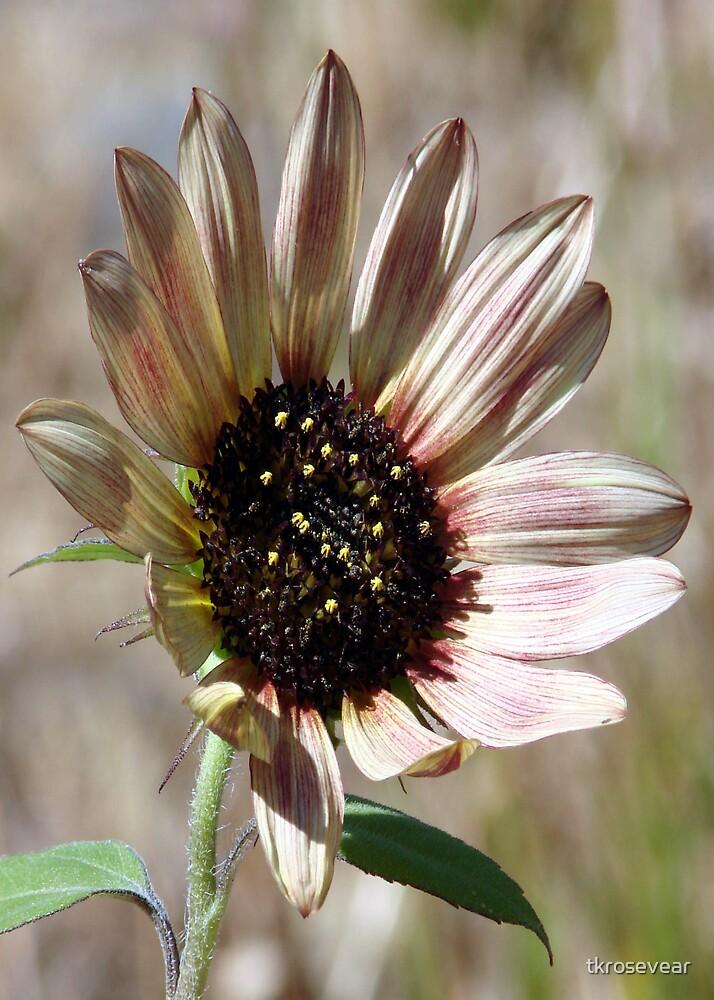 Pale Sunflower by tkrosevear