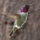 "Anna""s Hummingbird by barnsis"