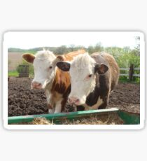 Wisconsin Cows Sticker