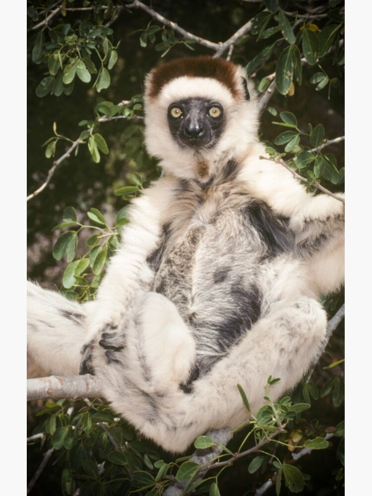 The sifaka will see you now by dailyanimals