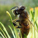 Grevvillea flower with bee - Serpentine Dam, Western Australia by Karen Stackpole