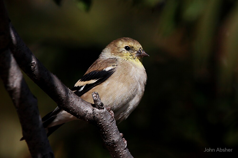 Goldfinch by John Absher