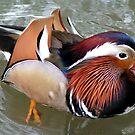 Mandarin Duck Portrait by Richard Durrant