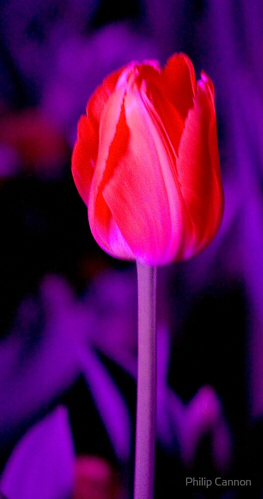 Tulip by night by Philip Cannon