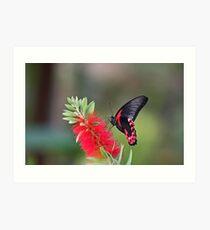 Scarlet Mormon Butterfly Art Print
