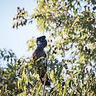 Baudin's Black Cockatoo by Celine Dubois