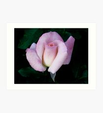 Floribunda Rose 'Bridal Pink' Art Print