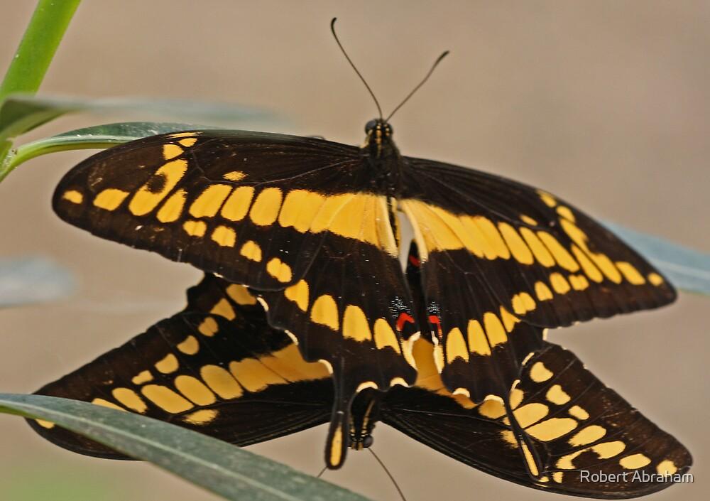 Thoas Swallowtail Copula by Robert Abraham