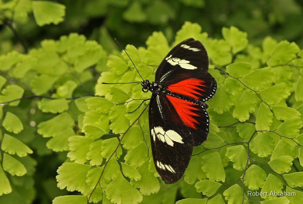 Doris Longwing Butterfly by Robert Abraham