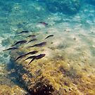 Caribbean Reef Squid in Oils by Kasia-D