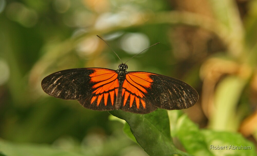 Postman Butterfly by Robert Abraham