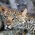 A Leopards Place! by Anthony Goldman