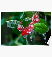 Holly Berries Covered in Ice Poster