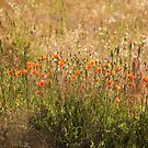 Poppies 2 by Kathi Huff
