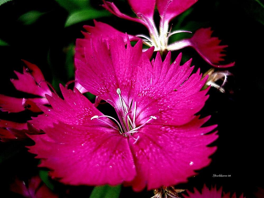 dark pink flower by shanmaree by william ballester