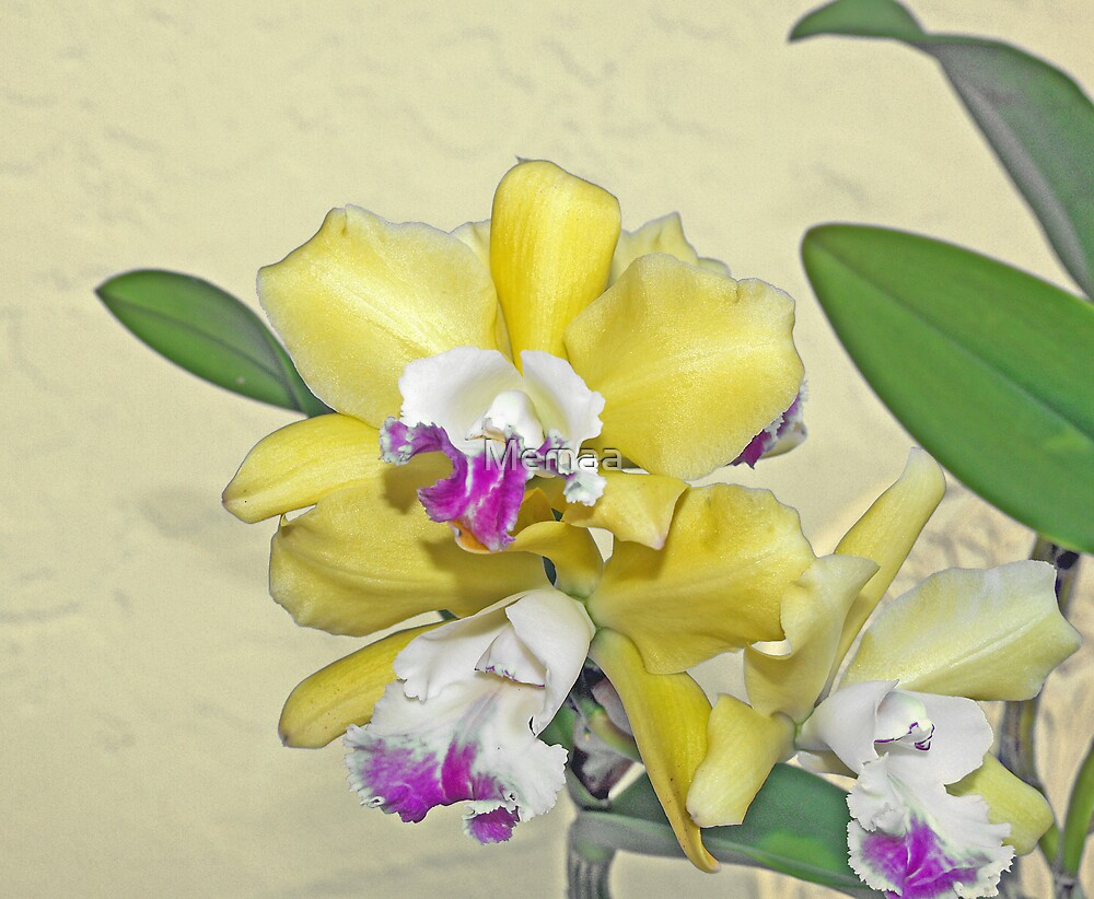 Yellow and Purple Orchid by Memaa