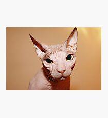 Hairless white cat. Photographic Print