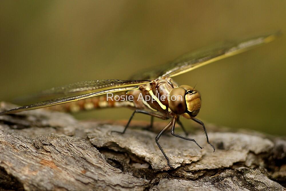 Dragonfly by Rosie Appleton