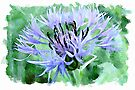 Blue cornflower watercolour by PhotosByHealy