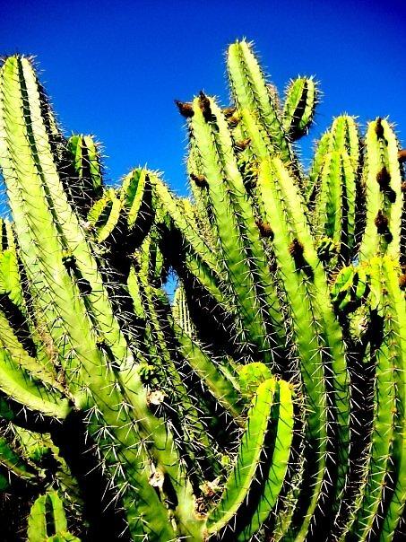 Cactus 1 by SamanthaJune