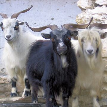A goat and two more by hezyakri
