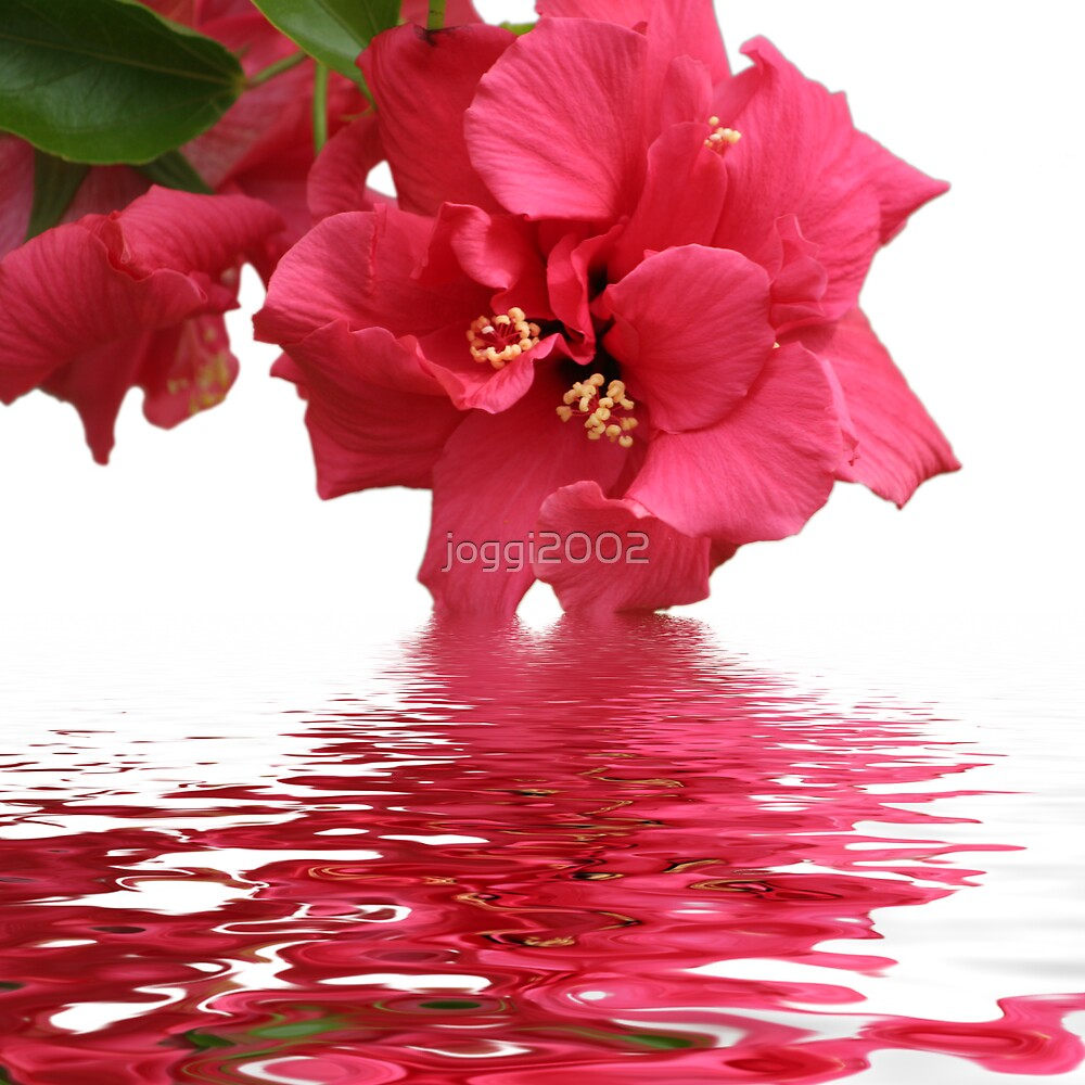 Beauty of Hibiscus by joggi2002