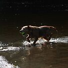 Border terrier standing in river with tennis ball by turniptowers